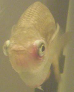 faqs on the rainbowfishes health disease